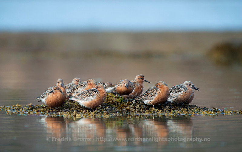 Red Knots resting, Norway