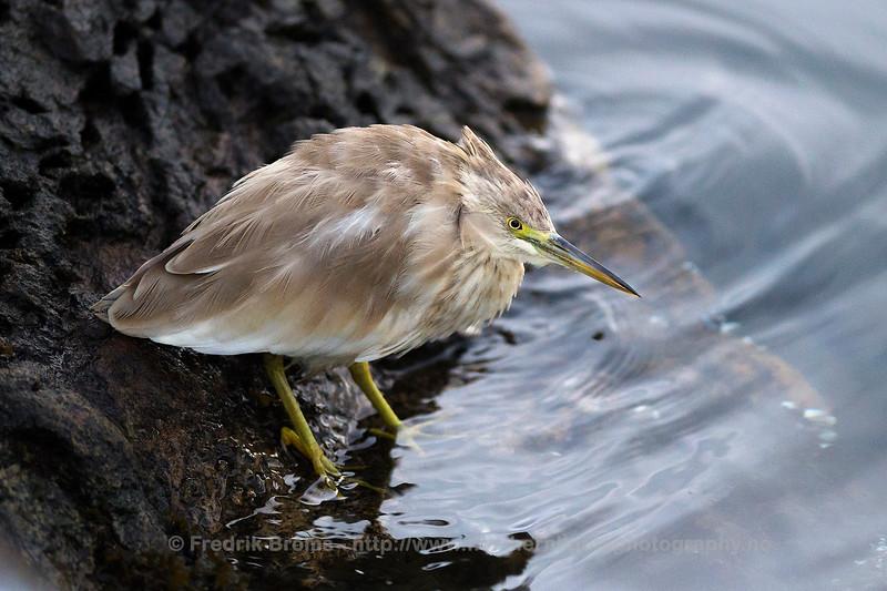 Squacco Heron - Topphegre - Ardeola ralloides