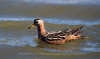 Grey Phalarope / Red Phalarope, Svalbard, Norway