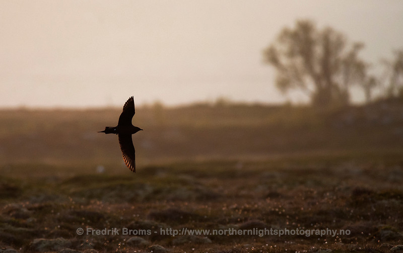 Arctic Skua, dark morph, in Midnight Sun, Norway