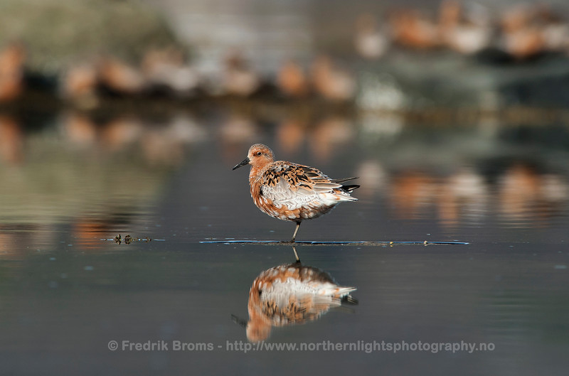 Red Knot on Spring Migration, Norway