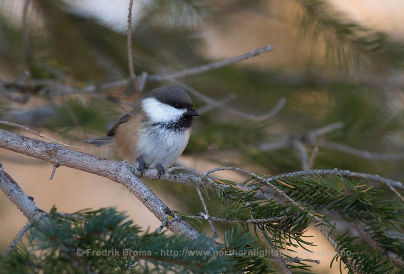 Siberian Tit - Lappmeis - Poecile cinctus