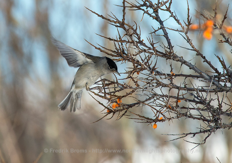 Blackcap feeding on Sea Buckthorn, Tromsø, Norway
