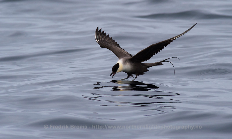 Long-tailed Skua at Sea, Northern Norway