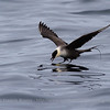 Long-tailed Skua at Sea, Northern Norway