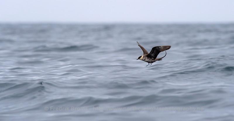 Long-tailed Skua - Fjelljo - Stercorarius longicaudatus