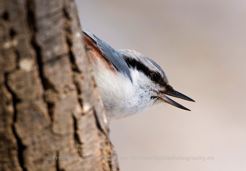 Nuthatch, Sweden