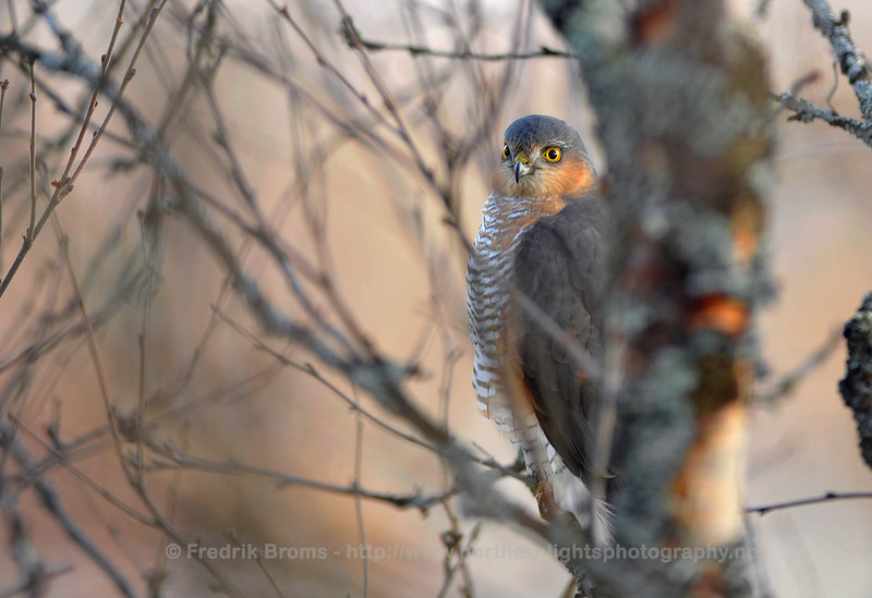 Sparrow Hawk - Male, Norway