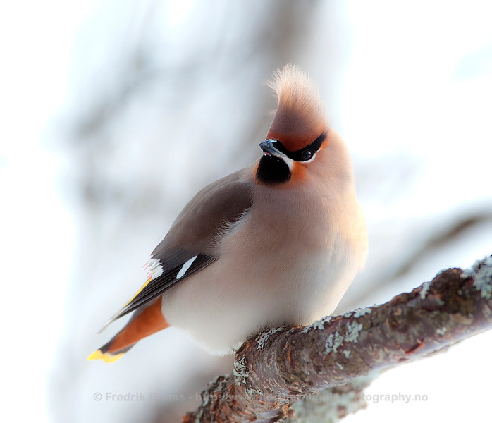Waxwing, Norway