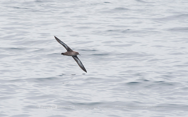 Sooty Shearwater, Northern Norway