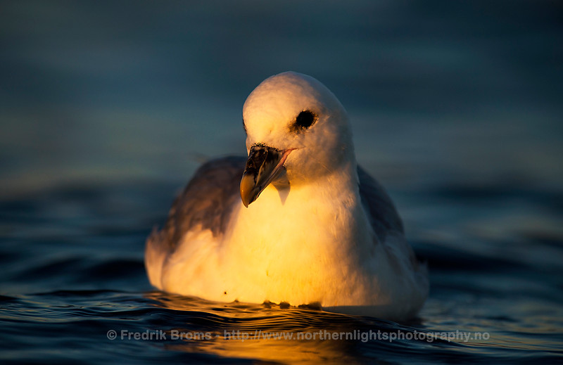 Northern Fulmar, Northern Norway
