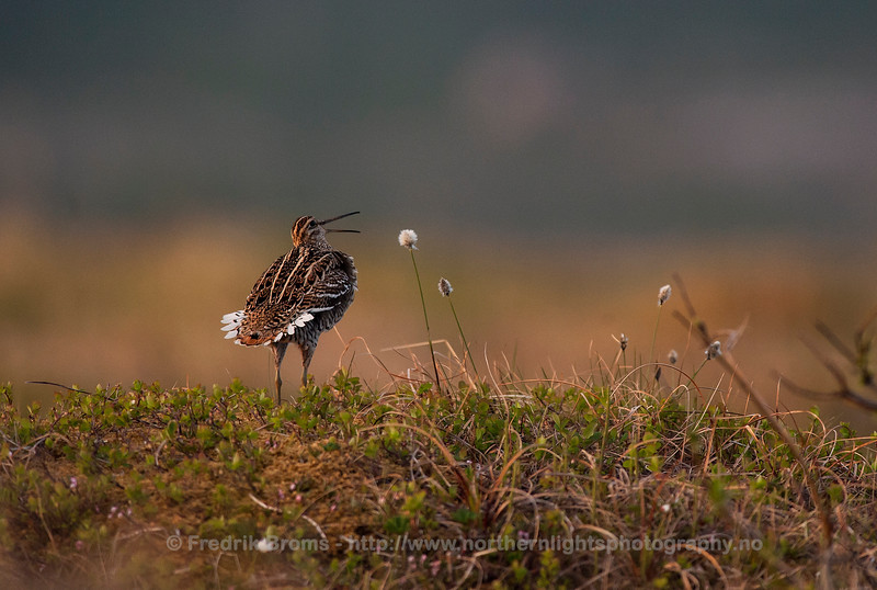 Great Snipe - Displaying, Norway