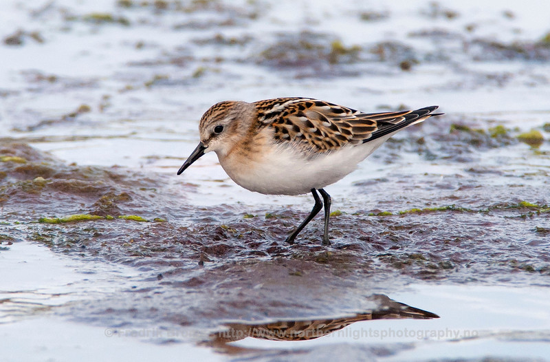 Little Stint - Dvergsnipe - Calidris minuta
