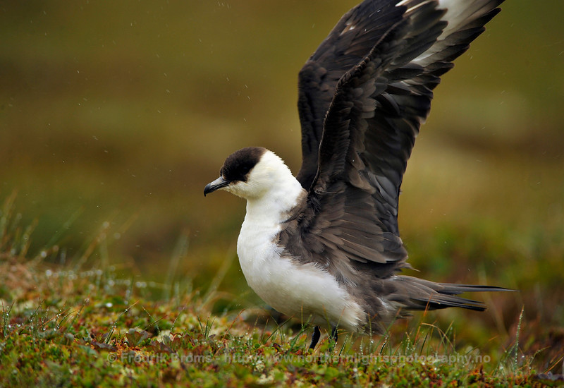 Arctic Skua on Breeding Site, Norway