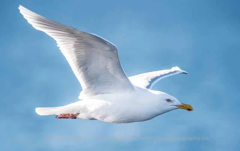 Glaucous Gull - Polarmåke - Larus hyperboreus