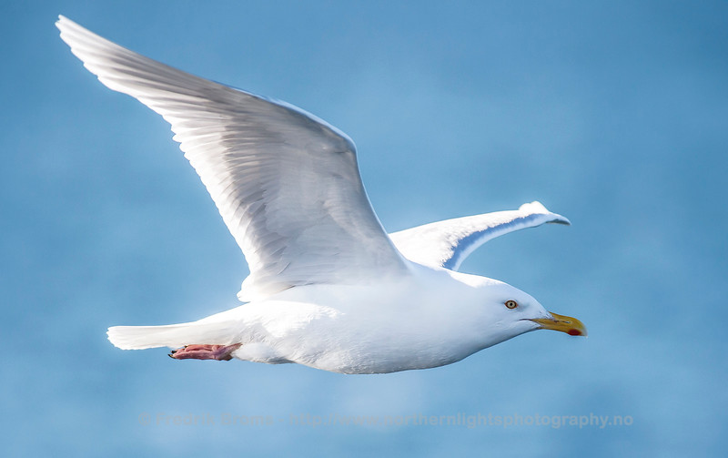 Glaucous Gull, Iceland