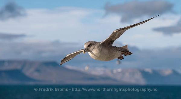 Northern Fulmar - Havhest - Fulmarus glacialis
