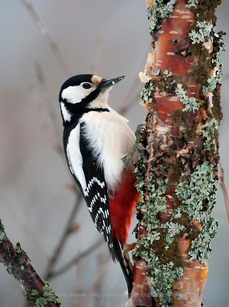 Great Spotted Woodpecker, Kvaløya, Norway