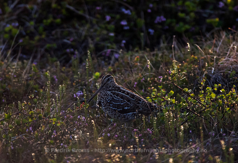 Great Snipe - Early Morning, Norway