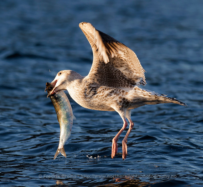 Herring Gull with Herring, Norway