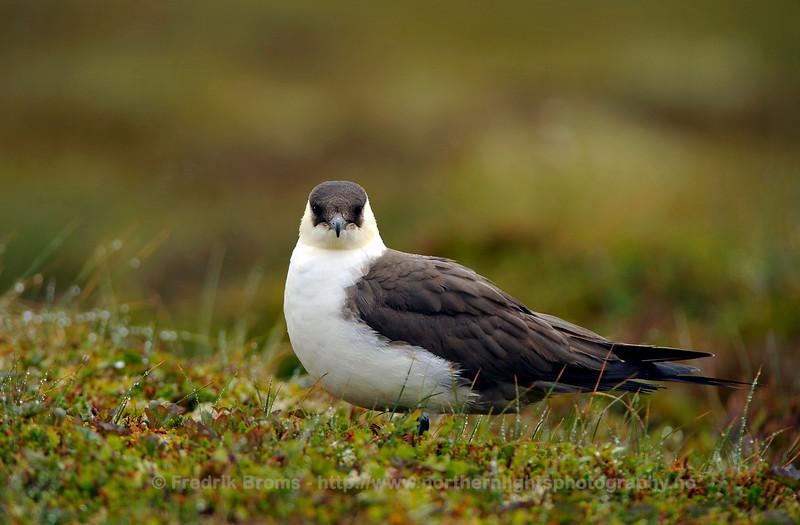 Arctic Skua - Tyvjo - Stercorarius parasiticus