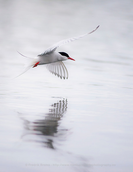 Arctic Tern - Reflection, Norway