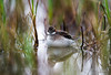 Male Red-necked Phalarope at Breeding Site, Northern Norway