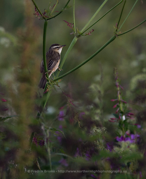 Sedge Warbler in Midnight Sun, Northern Norway