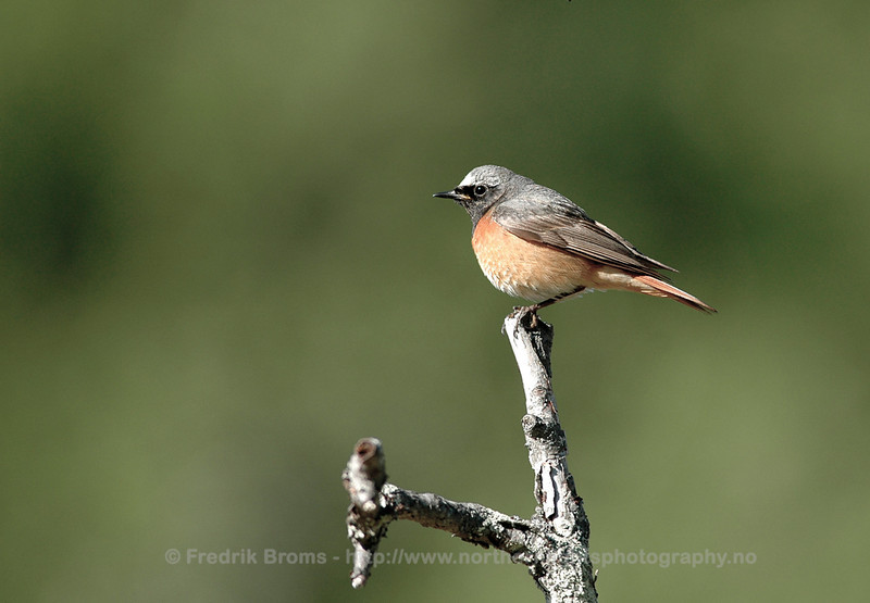 Redstart, Norway