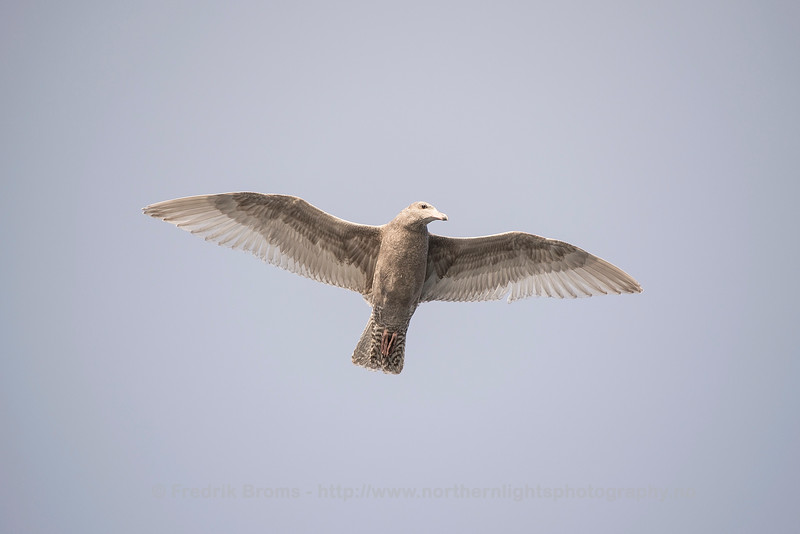 Young Glaucous Gull, Norway