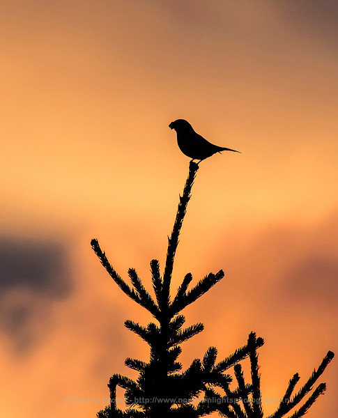 Pine Grosbeak Silhouette, Norway