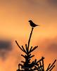Pine Grosbeak Silhouette, Norway