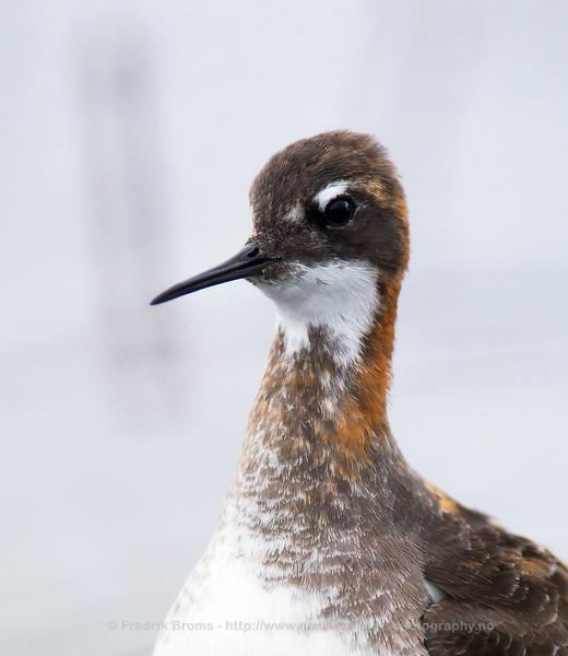Red-necked Phalarope - Svømmesnipe - Phalaropus lobatus