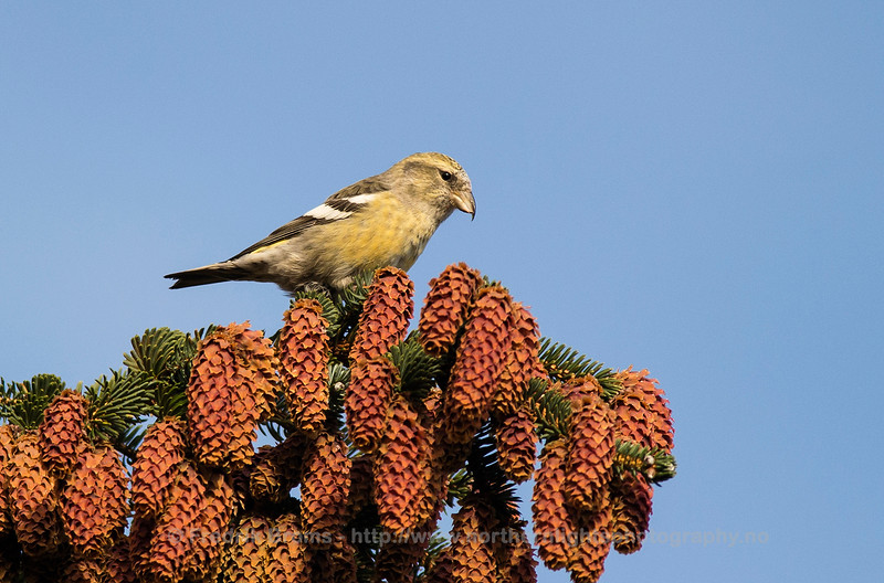Two-barred Crossbill - Båndkorsnebb - Loxia leucoptera