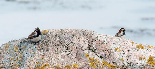 Lapland Bunting - Lappspurv - Calcarius lapponicus