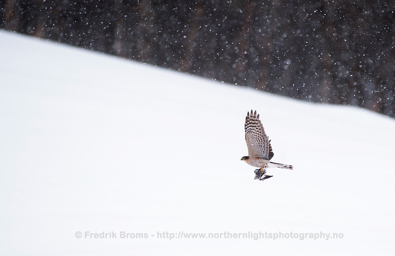 Sparrow Hawk with Prey, Norway