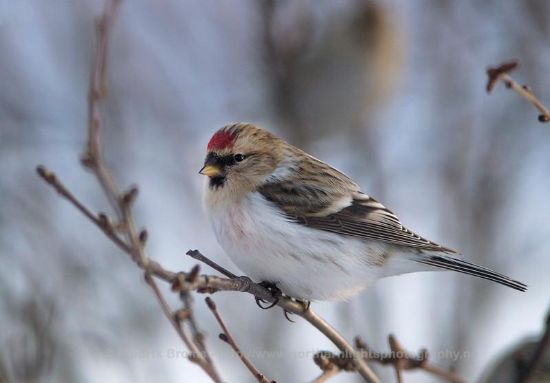 Arctic Redpoll - Polarsisik - Acanthis hornemanni