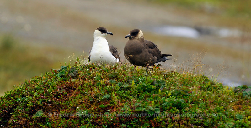 Arctic Skuas at Nest (mixed pair), Norway