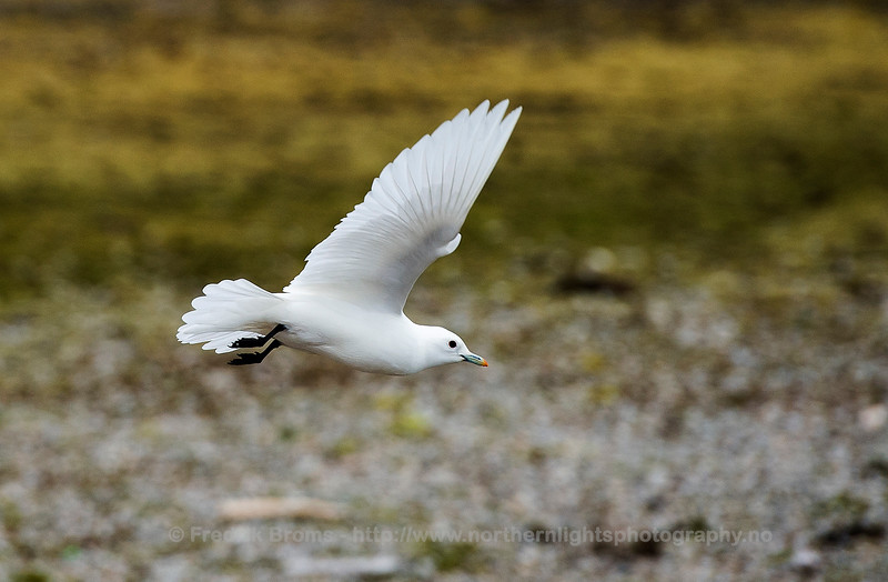 Ivory Gull in flight, Svalbard