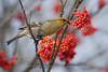 Pine Grosbeak feeding on Rowan Berries, Norway