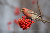 Male Pine Grosbeak feeding on Rowan Berries, Norway