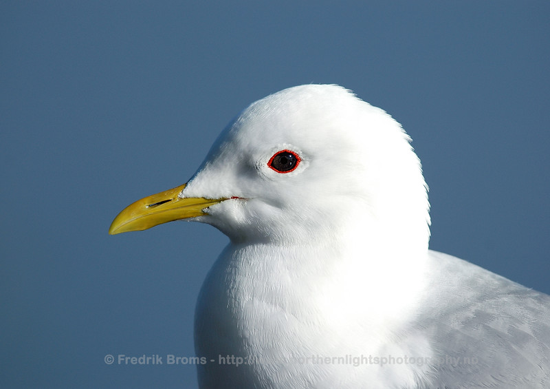 Common Gull - Fiskemåke - Larus canus