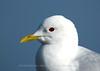 Common Gull, Norway