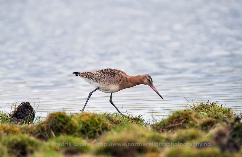 Black-tailed Godwit, Norway
