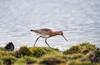 Black-tailed Godwit, Norway