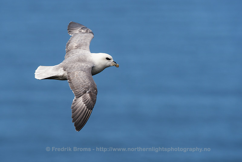 Northern Fulmar in Flight, Iceland