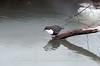 Eurasian Dipper, Norway