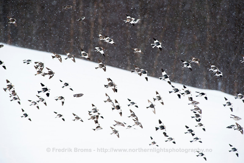 Snow Buntings, Norway