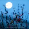 Pine Grosbeaks under the Full Moon, Northern Norway