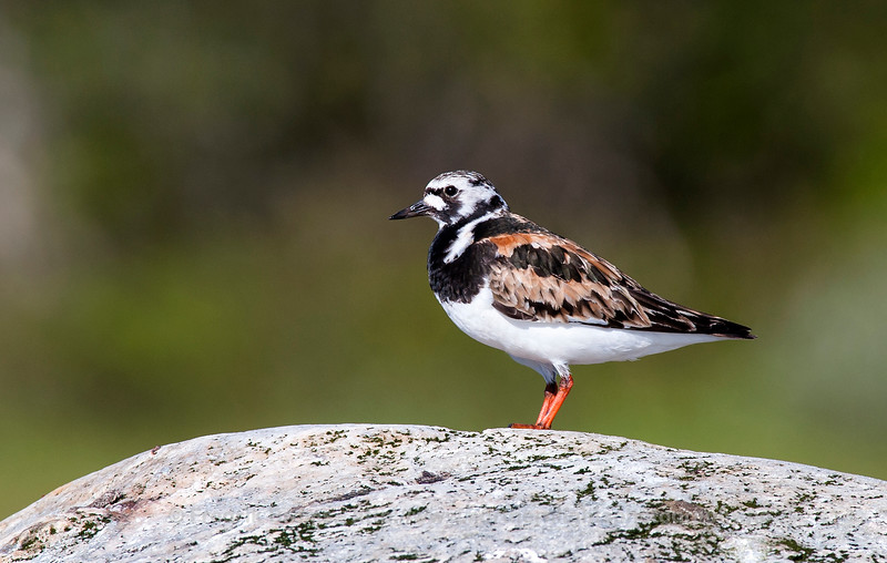 Ruddy Turnstone - Steinvender - Arenaria interpres